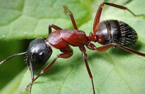 Особенности муравьиной кислоты