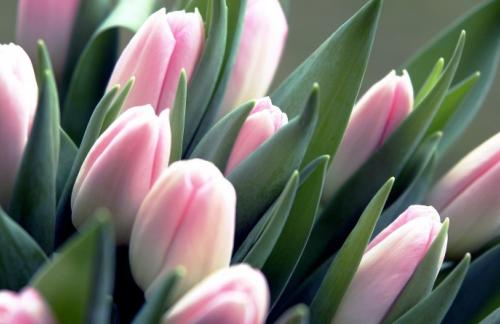 Красноярские заказчики получили возможность приобретать тюльпаны оптом на выгодных ценовых условиях