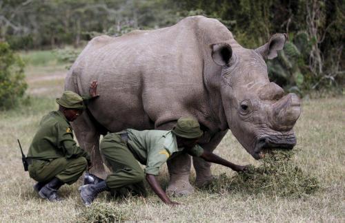 Умер последний в мире самец белого носорога
