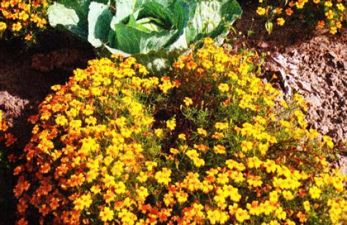 Выращивание бархатцы цветы - Семена бархатцев
