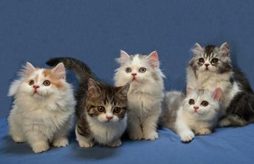 Немного о карликовых кошках