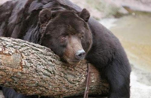 А вы знаете как спят медведи?