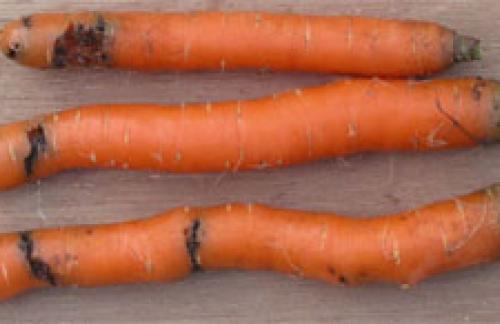 Как я морковную муху перехитрила