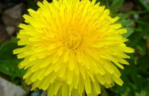 Растение одуванчик лекарственный - лекарственные свойства одуванчика