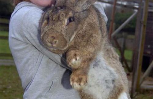 Самый большой кролик фото
