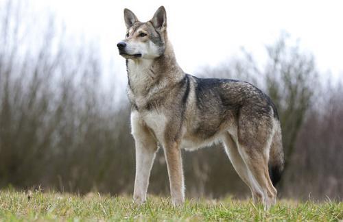 Волчья собака Сарлоса часть2