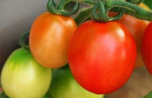 Выращивание помидоров (томатов) рассадным и безрассадным способами