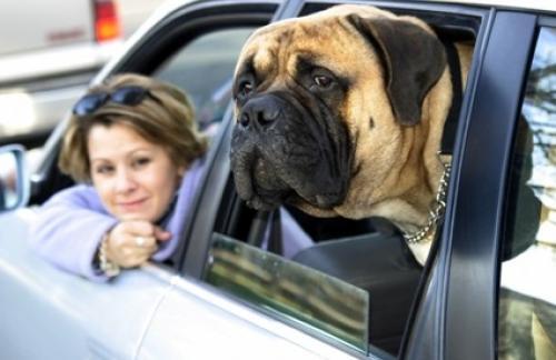 Домашние животные повышают риск ДТП