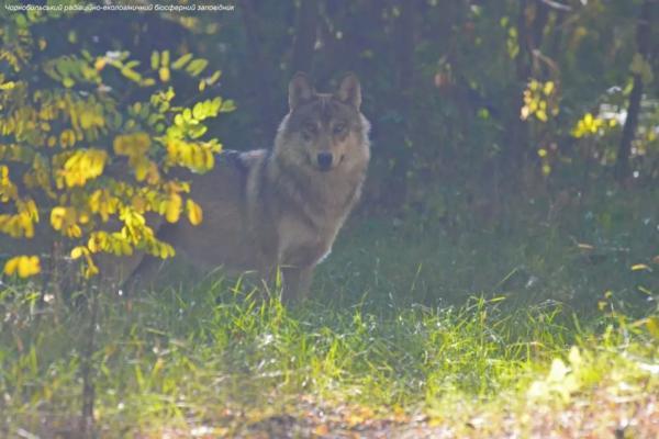Волки в Чернобыльской зоне начали охотиться среди белого дня